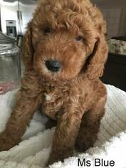 Goldendoodle (Miniature) Puppy For Sale in ROSEVILLE, CA, USA