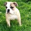 English Bulldogge Puppy For Sale in WOODBRIDGE, Virginia,