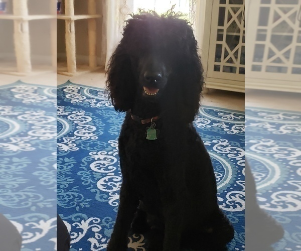 Medium Photo #16 Poodle (Standard) Puppy For Sale in DYERSBURG, TN, USA