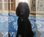 Small Photo #16 Poodle (Standard) Puppy For Sale in DYERSBURG, TN, USA