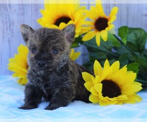 Cairn Terrier Dog for Adoption in FREDERICKSBG, Ohio USA