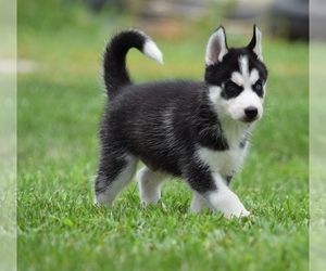 Siberian Husky Puppy for sale in SILEX, MO, USA