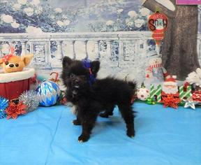 Pomeranian Puppy For Sale in CHICAGO, IL