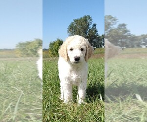 Labradoodle Puppy for Sale in SPENCERVILLE, Indiana USA