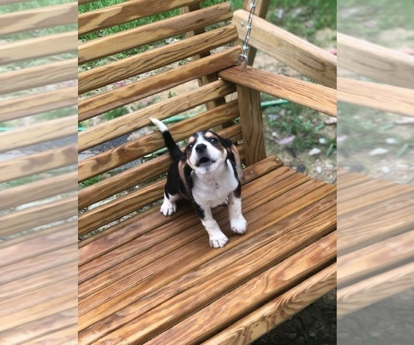 Medium Photo #5 Beagle Puppy For Sale in SPENCER, TN, USA