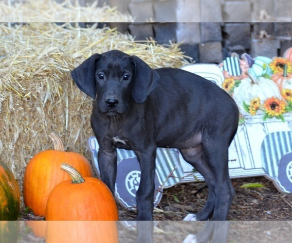 Medium Photo #1 Great Dane Puppy For Sale in CADILLAC, MI, USA