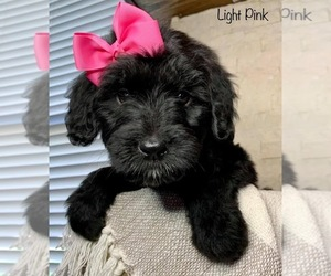 Goldendoodle Puppy for sale in LEWISVILLE, TX, USA
