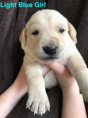 Golden Labrador Puppy For Sale in STOCKTON, MO, USA