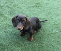 Dachshund Puppy For Sale in LOS ANGELES, CA, USA