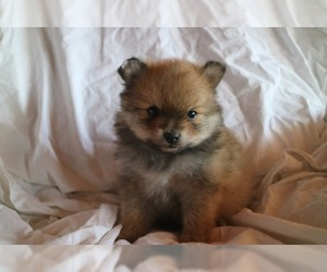 Pomeranian Puppy For Sale in ROME, GA, USA