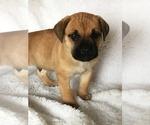 Puppy 11 Cane Corso