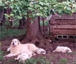 Small #4 Great Pyrenees