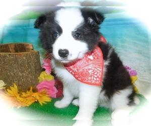 Border-Aussie Puppy for Sale in HAMMOND, Indiana USA