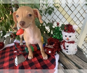 Chipin Puppy for sale in PHOENIX, AZ, USA