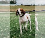 Small #418 English Coonhound Mix