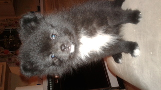 Pomeranian Puppy For Sale in COLUMBIA, SC