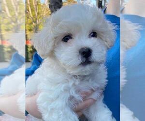 Zuchon Puppy for Sale in SAN DIEGO, California USA
