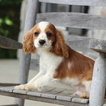 Cavalier King Charles Spaniel Puppy For Sale in GAP, PA,
