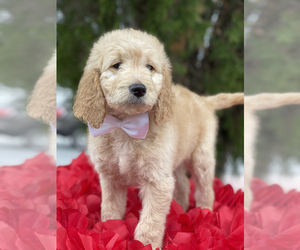 Goldendoodle-Poodle (Standard) Mix Dog for Adoption in KISSIMMEE, Florida USA