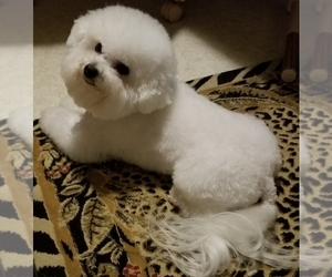 Father of the Bichon Frise puppies born on 07/07/2019