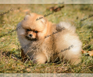 Pomeranian Dog for Adoption in Chisinau, Chisinau Municipality Moldova