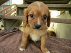 Cavapoo Puppy For Sale in HUDSON, MI, USA