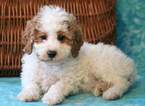 Poodle (Miniature) Puppy For Sale in MOUNT JOY, PA, USA