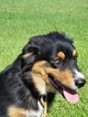 Australian Shepherd Puppy For Sale in SHARON, SC, USA