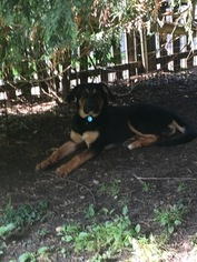 Euro Mountain Sheparnese Dog For Adoption in MERION STATION, PA