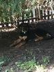 Euro Mountain Sheparnese Dog For Adoption in MERION STATION, PA