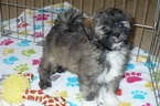 Shih-Poo Puppy For Sale in TUCSON, AZ, USA