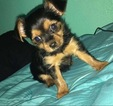 Yorkshire Terrier Puppy For Sale in WARNE, NC, USA