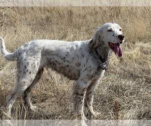 Mother of the Llewellin Setter puppies born on 03/02/2021