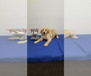 Golden Labrador Puppy for sale in NORWOOD, MO, USA