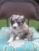 Australian Shepherd Puppy For Sale in CAT SPRING, TX, USA