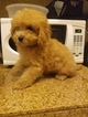 Maltese-Poodle (Standard) Mix Puppy For Sale in SAN DIEGO, CA, USA