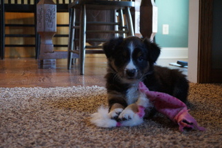 Australian Shepherd Puppy For Sale in NEWARK, IL, USA