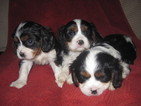 Cavalier King Charles Spaniel Puppy For Sale in DRESSER, WI, USA