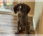 Puppy 10 German Shorthaired Pointer