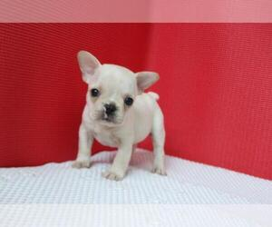 French Bulldog Puppy for sale in PRINCETON JCT, NJ, USA
