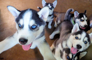 Puppyfindercom Puppies For Sale And Dogs For Adoption Near Me In
