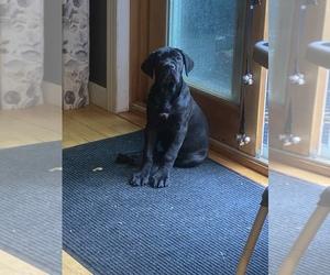 Cane Corso Puppy for sale in FULTONVILLE, NY, USA
