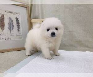 Japanese Spitz Puppy for Sale in NEW YORK, New York USA