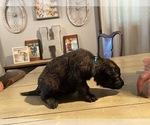 Small #12 Dutch Shepherd Dog