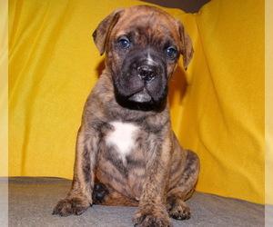 Bullmastiff Puppy for sale in VERONA, MO, USA