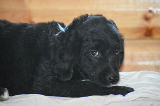 Golden Mountain Dog Puppy For Sale in FLORA, IL, USA