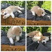 Bernedoodle-Poodle (Toy) Mix Puppy For Sale in PRIOR LAKE, MN, USA