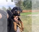 Rottweiler Puppy For Sale in WALLA WALLA, WA, USA