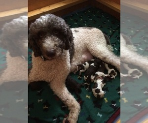 Labradoodle Puppy for sale in DONALDS, SC, USA