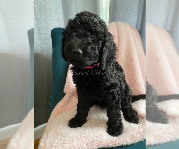 Medium Photo #4 Sheepadoodle Puppy For Sale in DUNCAN, OK, USA